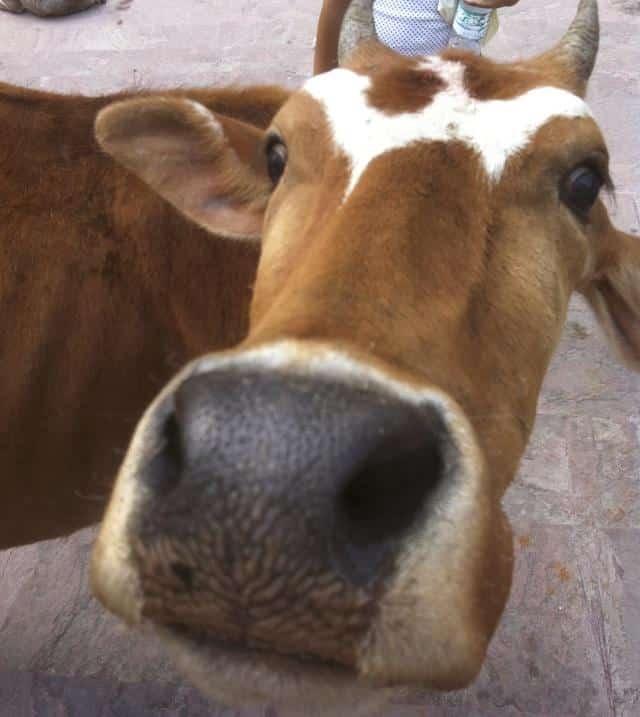 vaca na india