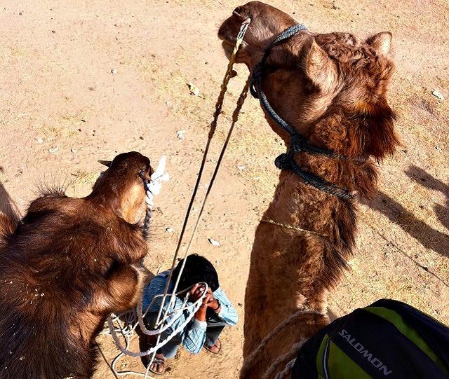 Camelos em Jaisalmer, Índia