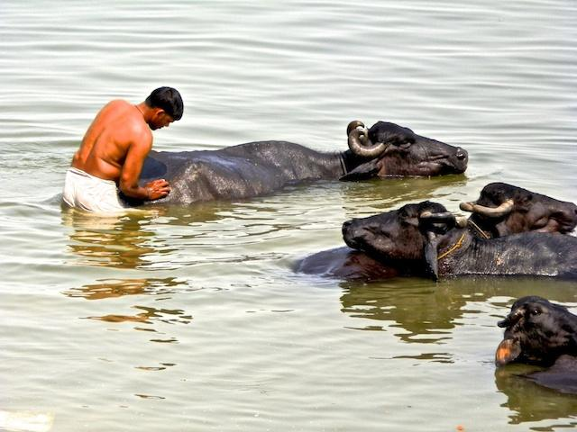 Búfalos no Rio Ganges - Varanasi