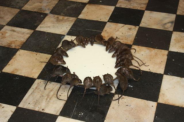 Karni Mata templo do rato na Índia