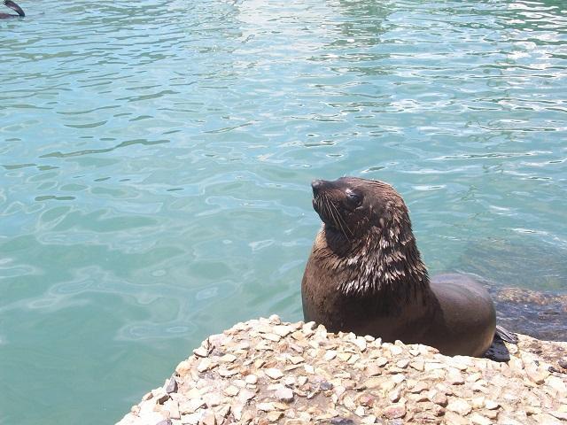 África do Sul focas
