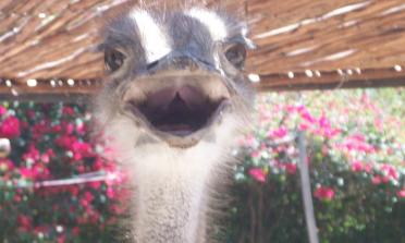 Visita a uma fazenda de avestruz na África do Sul