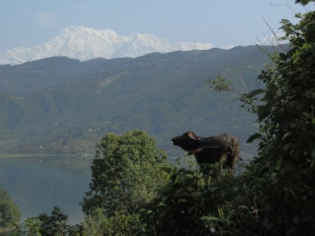 Bufala-Pokhara-Nepal
