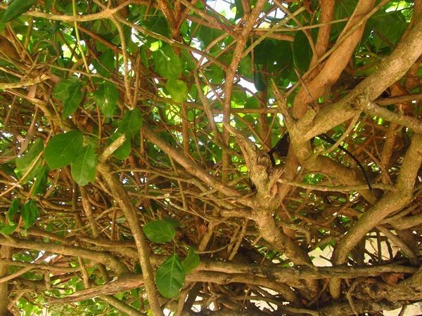 macaco esconde óculos na árvore