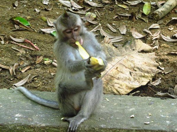 Macaco em Bali