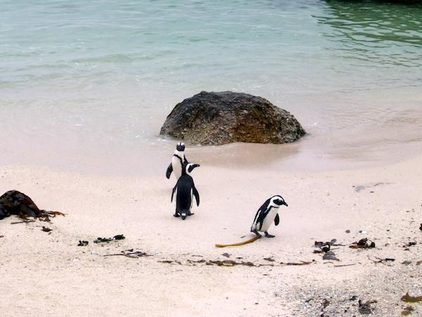 Pinguins-Cape-Town