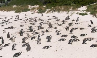 A praia dos pinguins, em Cape Town