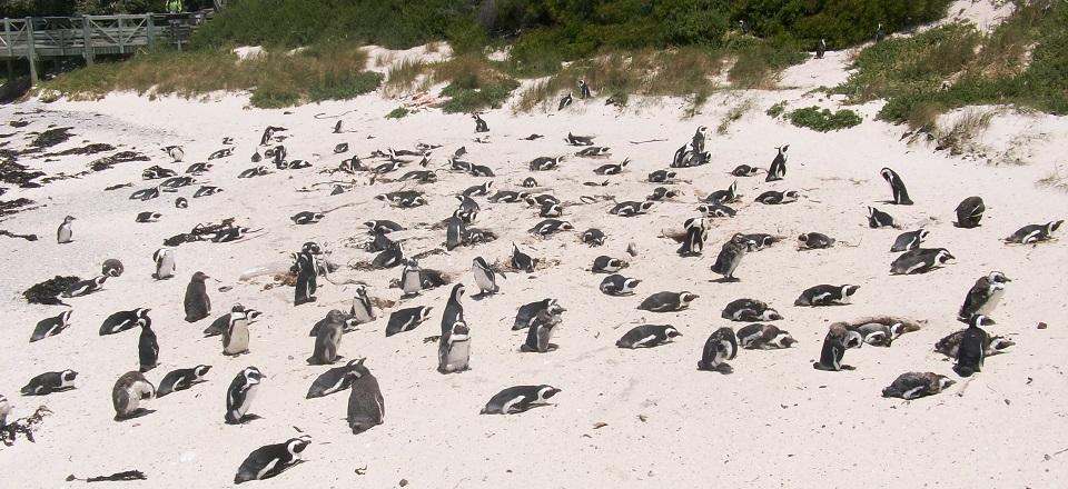 Praia dos pinguins na África do Sul