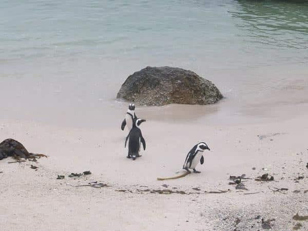 Boulders Beach: dicas para ver pinguins na África do Sul