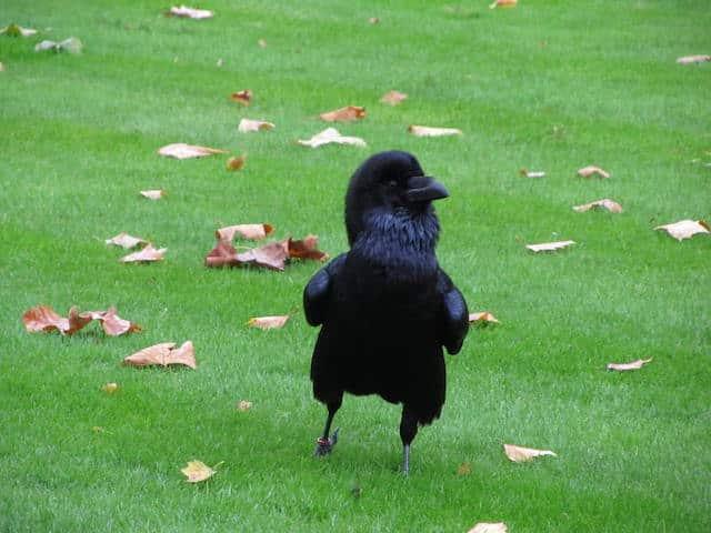 Torre de Londres corvo
