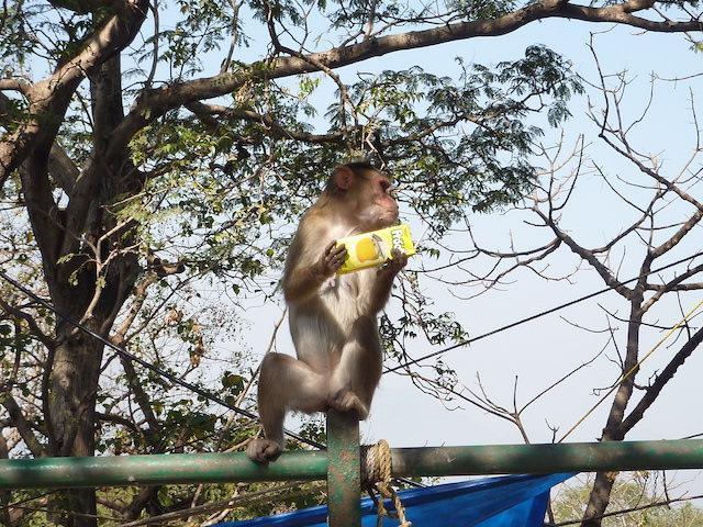 Macacos ilha da elefanta