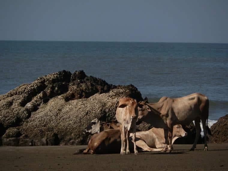 vacas na Índia