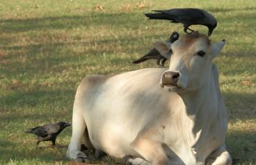 As vacas sagradas da Índia