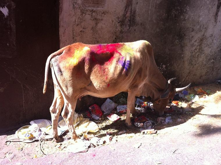 Vaca no Holi