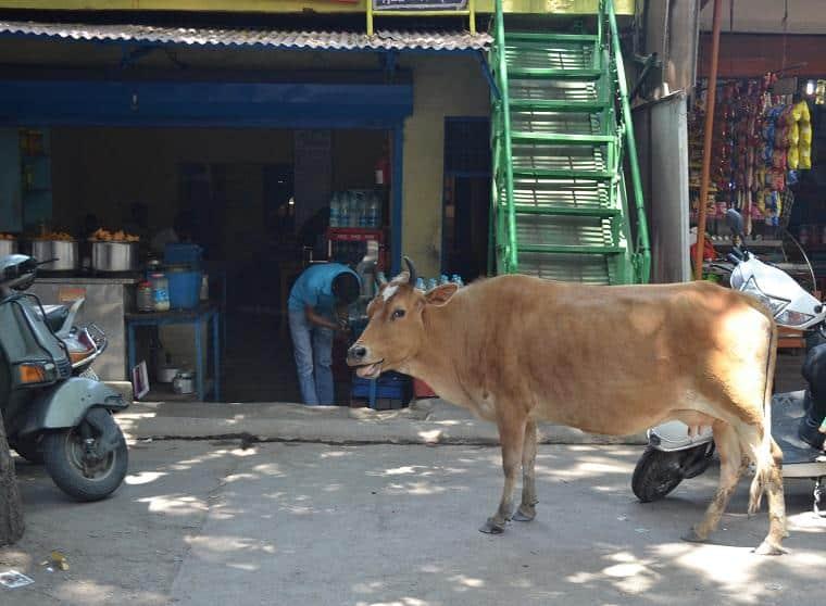 Vaca-rishikesh