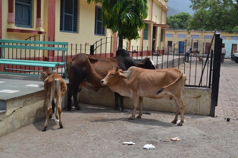 vaca é sagrada na índia?