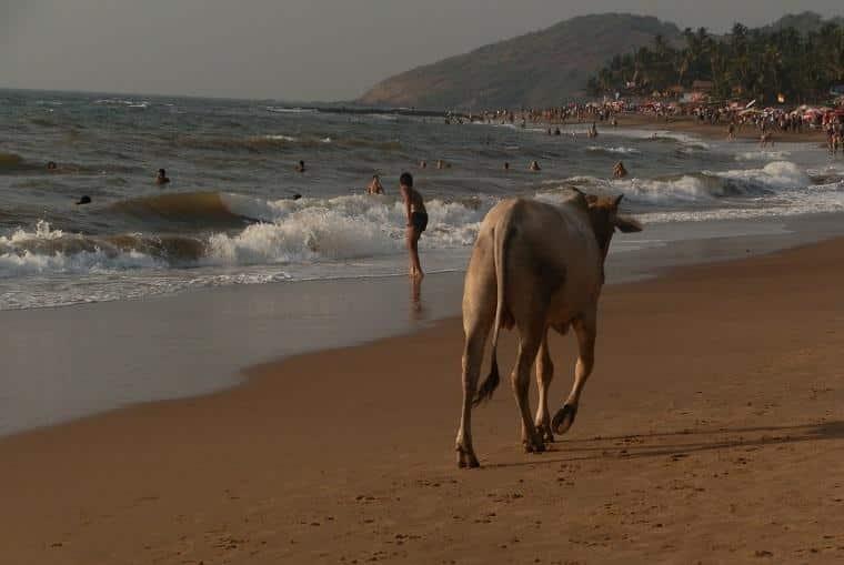 Vaca sagrada na Índia