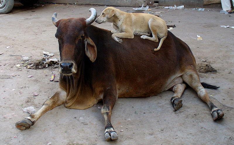 vacas são sagradas na Índia