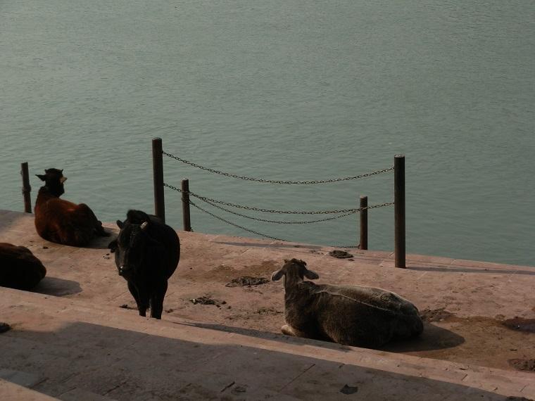 Vaca na Índia