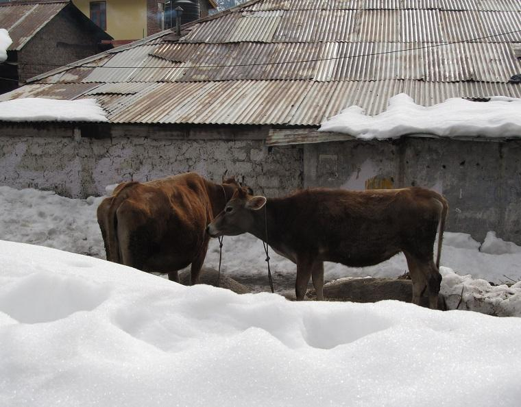 Vaca sagrada Índia