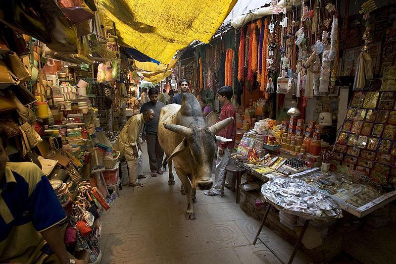 Vaca em varanasi, Índia