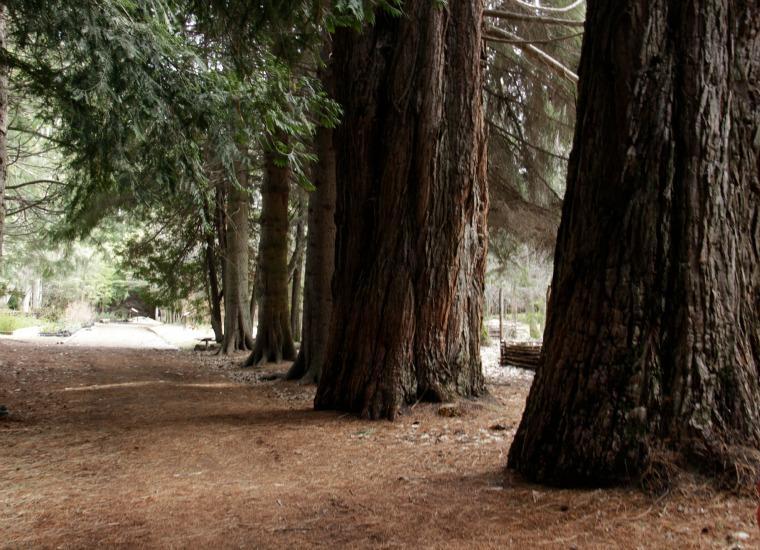 Sequoias na Isla Victoria - Bariloche