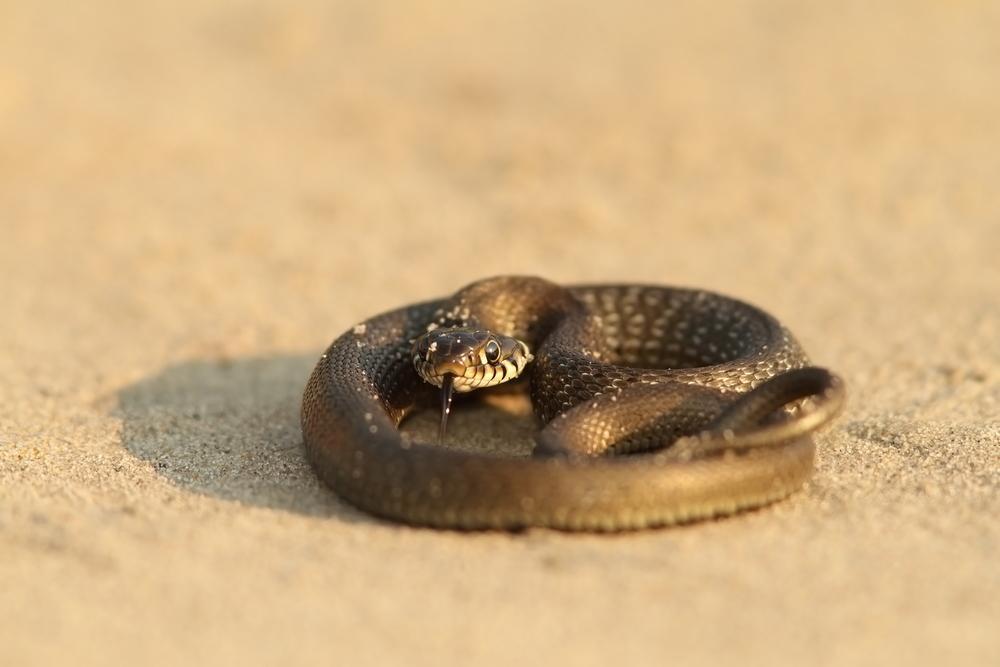 Cobra, serpente