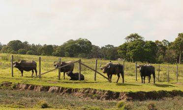 Os búfalos da Ilha do Marajó, no Pará