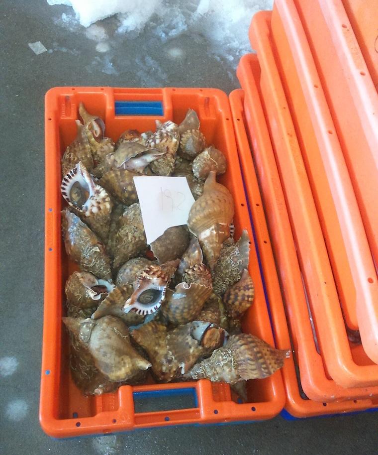 leilão do peixe caracois alentejo portugal