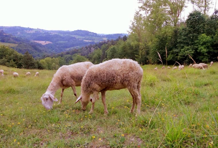 ovelhas no pasto em Piemonte