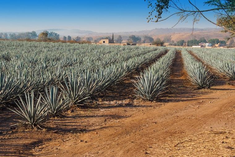 Plantação de agave no México