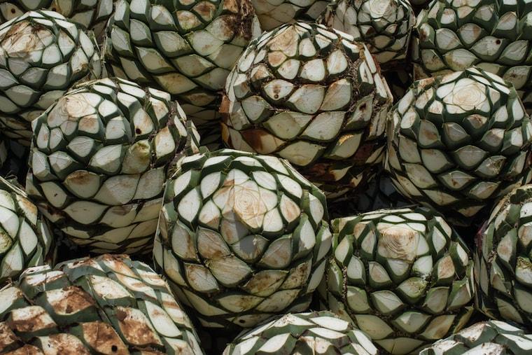 Raízes de agave para plantação de mezcal no méxico