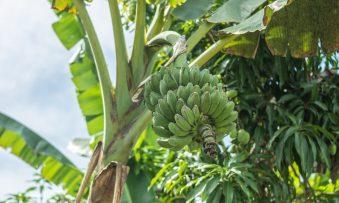 República das Bananas: como uma companhia mudou a América Latina