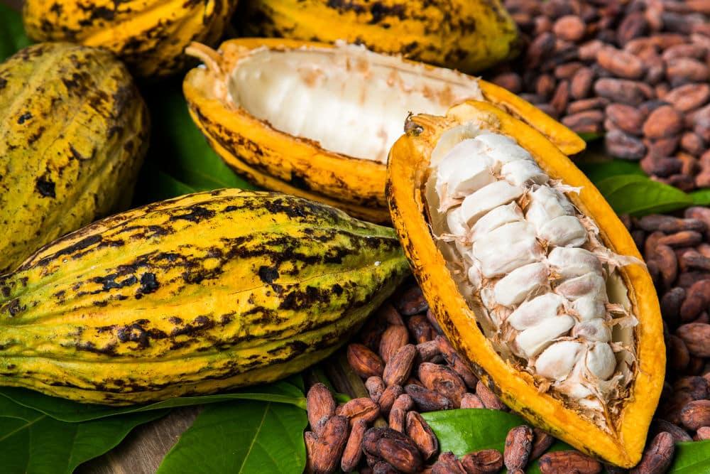 fruto do cacau historia do chocolate