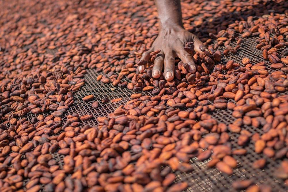 sementes ou amendoas de cacau secas