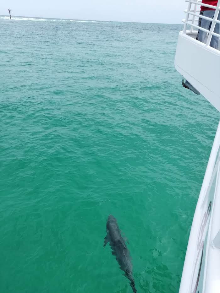 Golfinho acompanhando um barco nos arredores de Destin, Florida