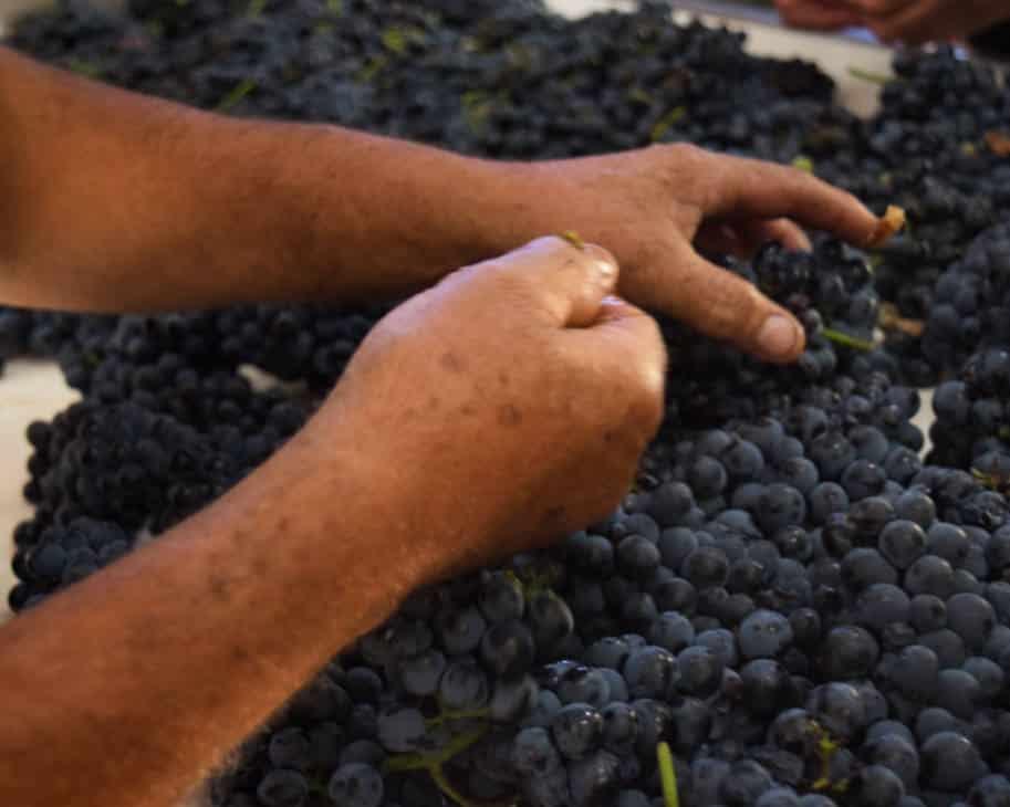 maos selecionam uvas vindimas portugal