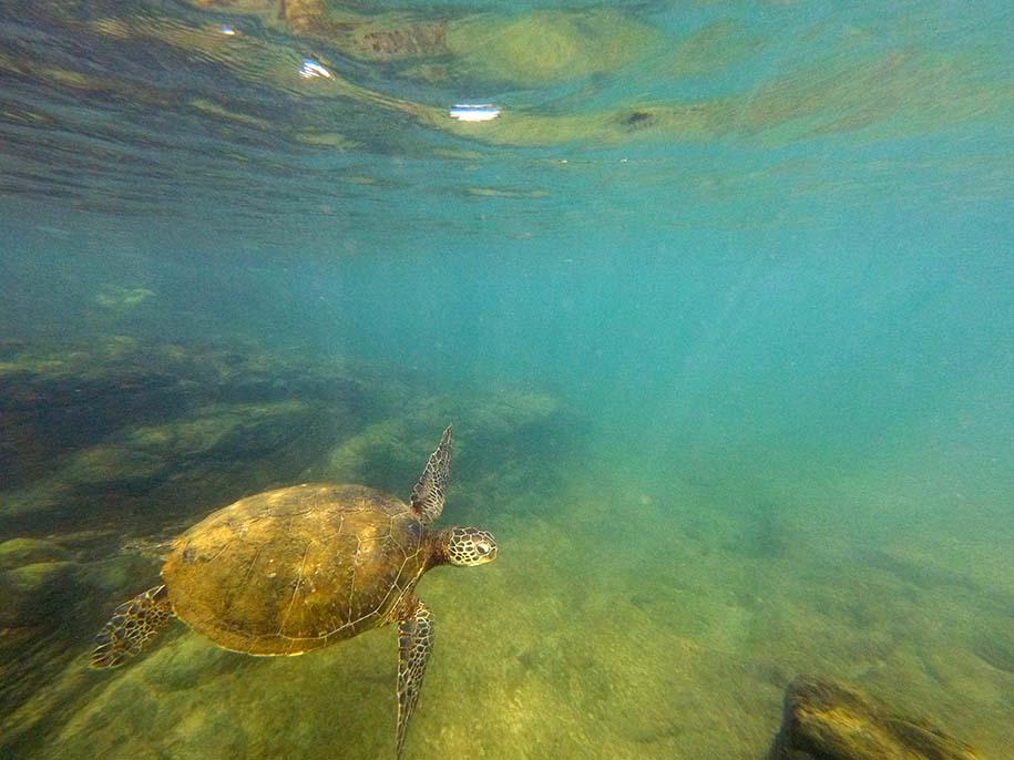 tartaruga na Praia do Porto, em Noronha