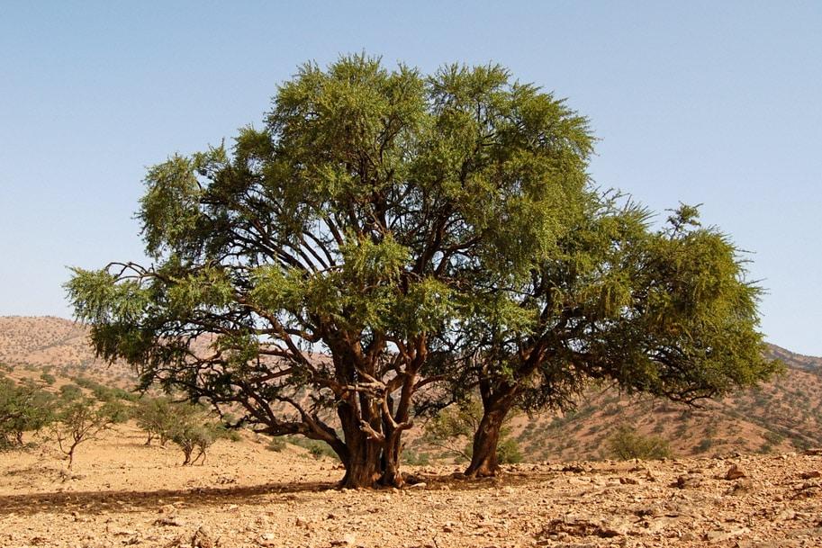 argania arvore de argan marrocos