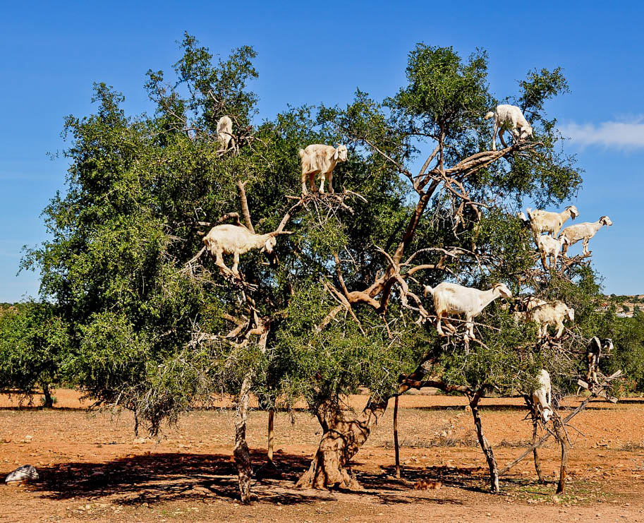 bodes e cabras na arvore de argan marrocos