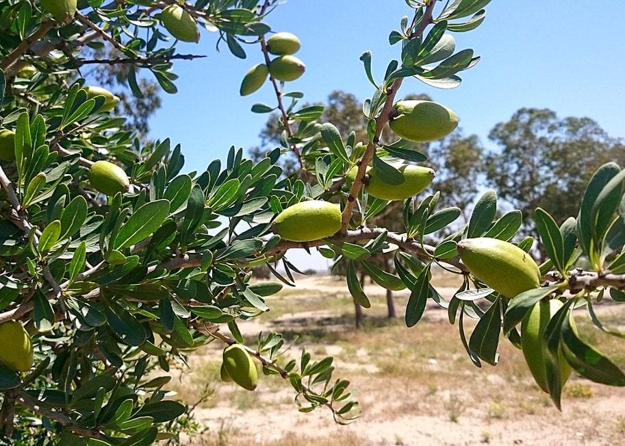 fruto da argania arvore do marrocos
