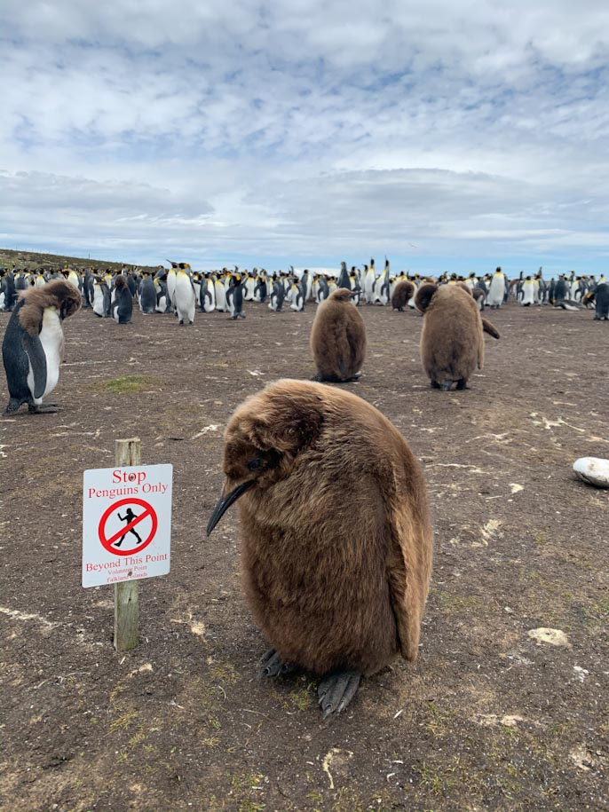 vário pinguins em vonlunteer point ilhas malvinas falklands